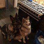 To forventningsfulle hunder
