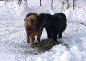 Shetlandsponnyene Hansi og Arny